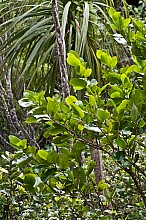 Griselinia lucida click thru to article photograph by Jeremy Rolfe