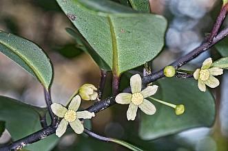 Pseudowintera axillaris click thru to article photograph by Jeremy Rolfe