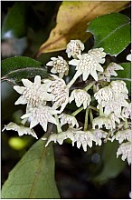 Hedycarya arborea click thru to article photograph by Jeremy Rolfe