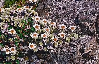 Leucogenes leontopodium click thru to article photograph by Jeremy Rolfe
