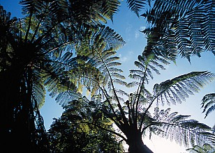Cyathea medullaris click thru to article photograph by Jeremy Rolfe