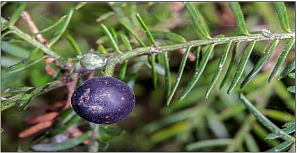 Prumnopitys taxifolia click thru to article photograph by Jeremy Rolfe