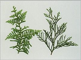 Aotearoa Native Plants