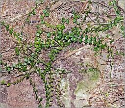 Asplenium flabellifolium click thru to article photograph by Jeremy Rolfe