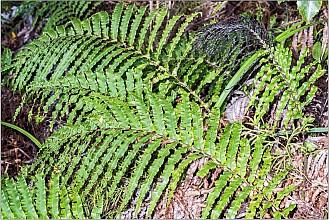 Blechnum novae-zelandiae click thru to article photograph by Jeremy Rolfe