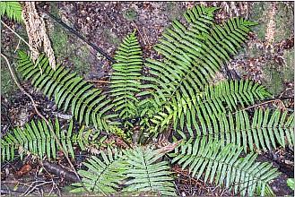 Pneumatopteris pennigera click thru to article photograph by Jeremy Rolfe