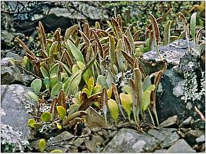 Pyrrosia eleagnifolia click thru to article photograph by Jeremy Rolfe