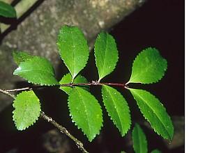 Laurelia novae-zelandiae click thru to article photograph by Jeremy Rolfe