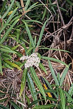 Olearia lacunosa click thru to article photograph by Jeremy Rolfe