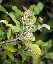 Olearia paniculata click thru to article photograph by Jeremy Rolfe