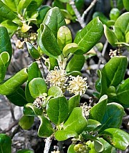 Coprosma repens click thru to article photograph by Jeremy Rolfe
