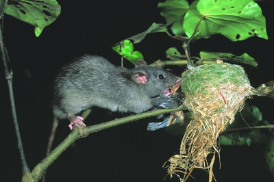 Predator_rat in fantail nest_DOC D Mudge 400.jpg: 400x266, 78k (2014 Jul 21 06:28)