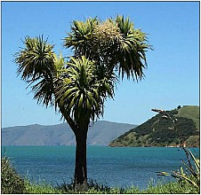 Cordyline australis