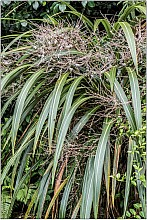 Cordyline banksii