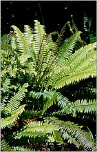 Blechnum discolor