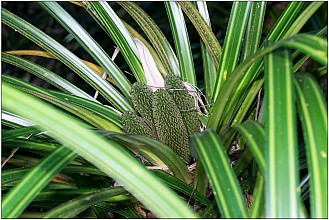 Freycinetia banksii click thru to article photograph by Jeremy Rolfe