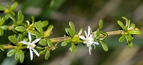Olearia solandri click thru to article photograph by Jeremy Rolfe